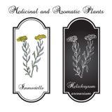 Immortelle & x28; Helichrysumarenarium eller dvärg- everlast& x29; Stock Illustrationer