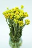 Immortelle (Helychrysum) en el blanco Imágenes de archivo libres de regalías