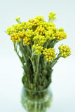 Immortelle (Helychrysum) op het wit Royalty-vrije Stock Afbeeldingen