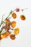 Immortelles secos hermosos en el fondo blanco Imagen de archivo