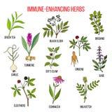Immune enhancing herbs Royalty Free Stock Photography