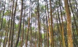 Imogiri pine Stock Photography