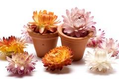 Imortelle dans le flowerpot de teracotta Images libres de droits