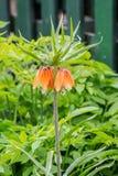 Impérial de couronne - les imperialis de Fritillaria fleurissent dans le jardin sur s image stock