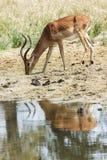 Impala à côté d'un petit courant photographie stock libre de droits