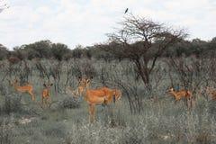 Impala énorme de troupeau de famille frôlant dans le domaine dans l'Etosha P Images stock