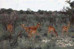 Impala énorme de troupeau de famille frôlant dans le domaine dans l'Etosha P Photos stock