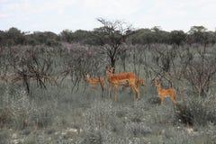 Impala énorme de troupeau de famille frôlant dans le domaine dans l'Etosha P Image stock
