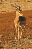 Impala, επιφύλαξη παιχνιδιού Madikwe στοκ εικόνα