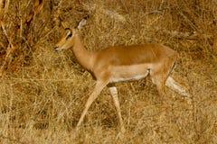 Impala, επιφύλαξη παιχνιδιού Madikwe στοκ φωτογραφία