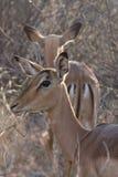 Impala, επιφύλαξη παιχνιδιού Madikwe στοκ εικόνες