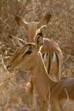 Impala, επιφύλαξη παιχνιδιού Madikwe στοκ φωτογραφίες
