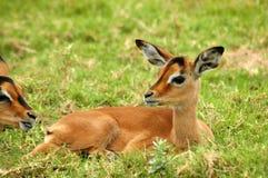 impala μωρών Στοκ Φωτογραφία
