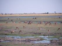 Impala στο εθνικό πάρκο Chobe Στοκ Εικόνες
