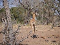Impala στο εθνικό πάρκο Chobe Στοκ Φωτογραφίες