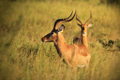 Impala - υπόβαθρο άγριας φύσης - κριοί της συμμετρίας στοκ εικόνα