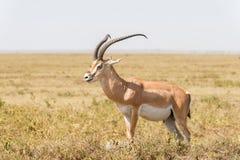 impala антилопы Африки Стоковое фото RF