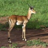 impala антилопы Стоковые Фотографии RF