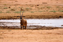 impala Африки Стоковая Фотография RF