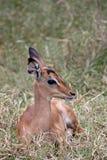 impala осленка стоковые фото