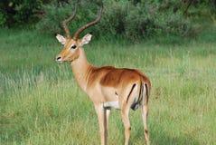 impala самеца оленя величественный стоковые изображения rf