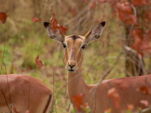 Impala. Portrait of an Impala in the Kruger National Park Stock Photo