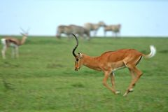 Impala royalty-vrije stock foto's