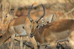 Impala Imagens de Stock