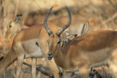 impala Arkivbilder