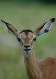 Impala. Little Rooibok antelope or Impala gazelle head portrait facing the camera witch cute expression in the face watching other African wildlife in a game Royalty Free Stock Images