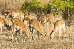 Impala Royalty Free Stock Photo