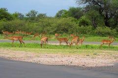 impala Стоковое Фото