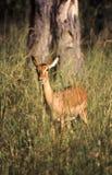impala fotografía de archivo
