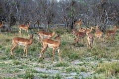 impala Immagine Stock