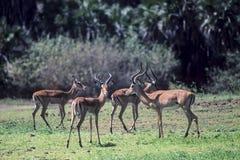 impala royaltyfria bilder