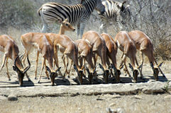 Impala. In a row drinking at Kruger National park, South Africa Stock Image