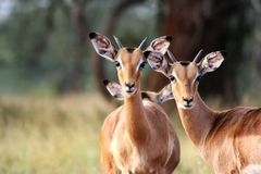 Impala. In Africa at water hole Royalty Free Stock Image