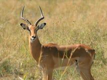 Impala Fotografia Stock Libera da Diritti