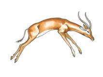 Impala Stock Image