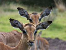 Impala. Two young Impala watching something Royalty Free Stock Image