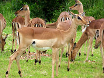 Impala. A Group of Impala at a Game Park (Safari Royalty Free Stock Images