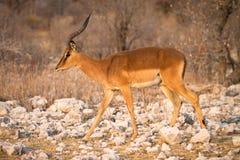 Impala Imágenes de archivo libres de regalías