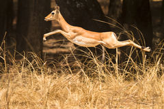 Impala. Wild Impala gazelle jumping, South Luangwa, Zambia Royalty Free Stock Photography