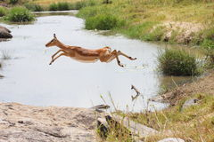 Impala Stock Foto's