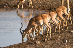 Impala. Antelopes drinking,safari Etosha, Namibia Royalty Free Stock Photography