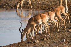 Impala. Antelopes drinking,safari Etosha, Namibia royalty free stock photography