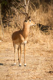 Impala. Antelope , Safari South Luangwa, Zambia Royalty Free Stock Image