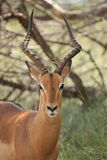 Impala Foto de Stock