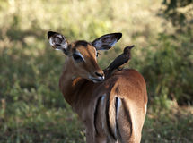 Impala Photographie stock