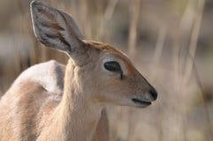 Impala Royalty-vrije Stock Foto